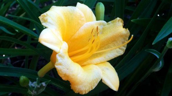Daylilies, Yellow 2