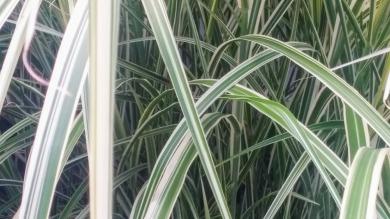 Striped Grass 1