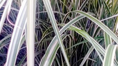 Striped Grass 3