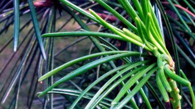Pine Tubes 2