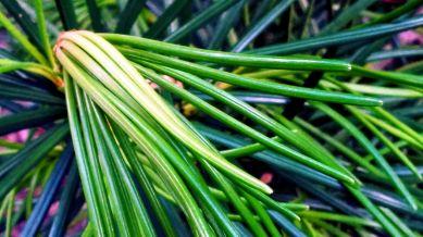 Pine Tubes 3a