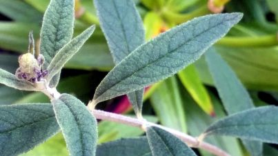 Bud and Leaves 1b