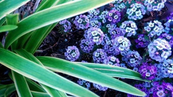 Landscaped Purple 1