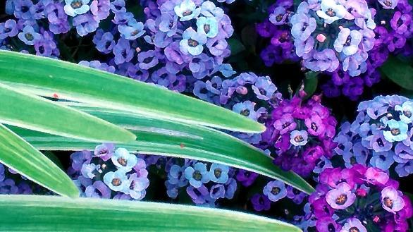 Landscaped Purple 2
