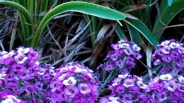 Landscaped Purple 3