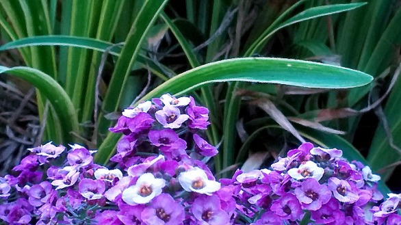 Landscaped Purple 4