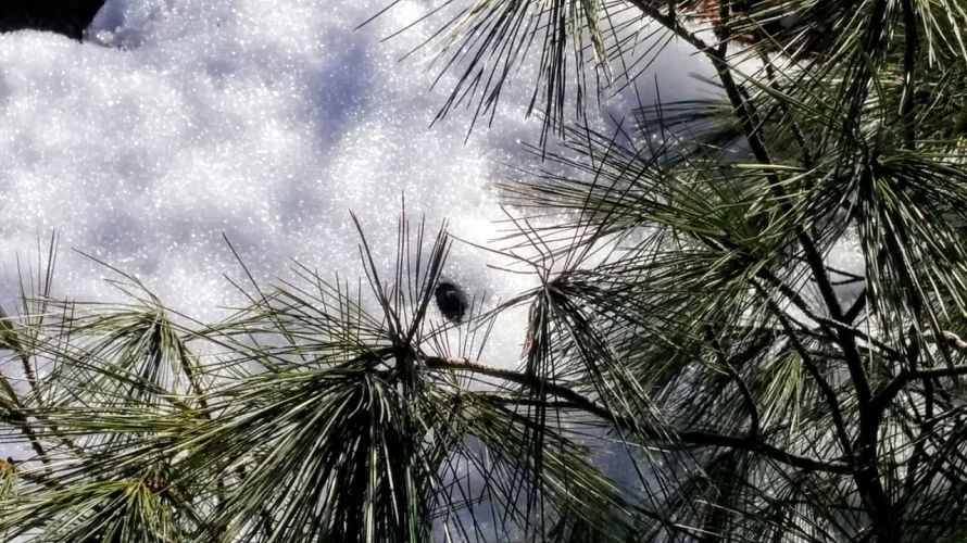 Pine Sparklers on Snow 3