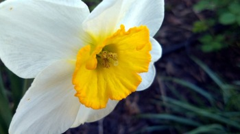 Daffodil in Perspective 1
