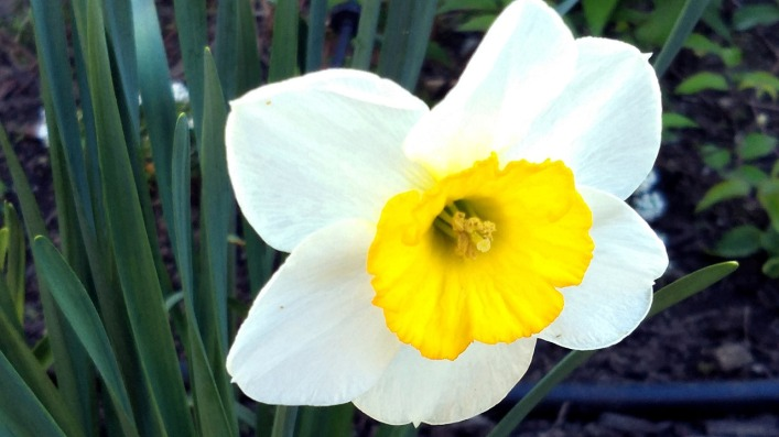 Daffodil in Perspective 3