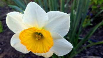 Daffodil in Perspective 2