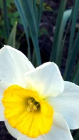 Daffodil in Perspective 4