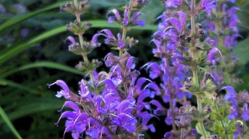 Salvia in the Garden 4