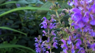 Salvia in the Garden 3