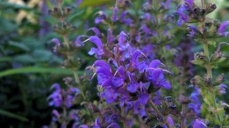 Salvia in the Garden 2