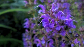 Salvia in the Garden 1