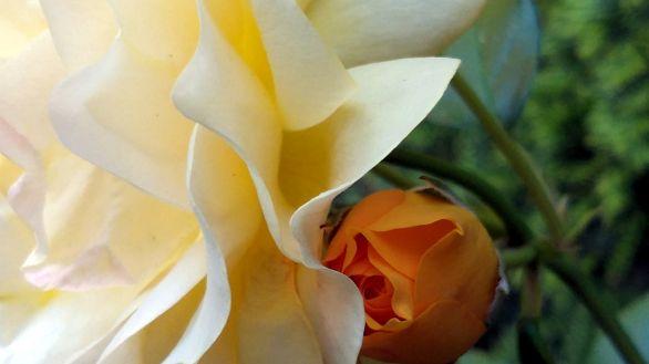 Rose, Yellow 2d