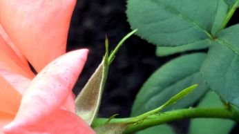 Architecture of a Rose 1a