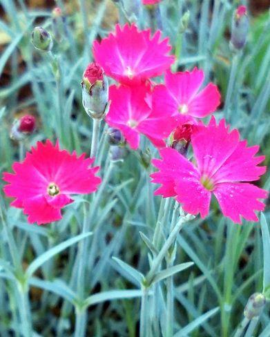 Springfest, Pink 3