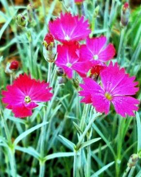 Springfest, Pink 3 (Neon)