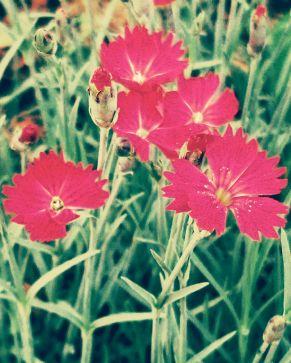 Springfest, Pink 3 (Vintage)