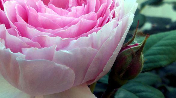 Rose, Pink 1A