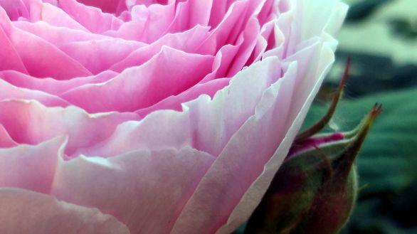 Rose, Pink 1B