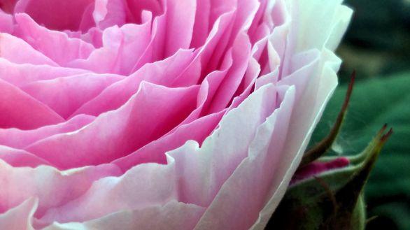 Rose, Pink 1C