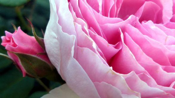 Rose, Pink 2