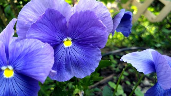 Pansies, Purple 1