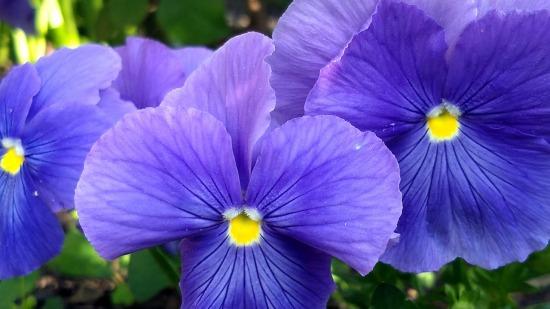 Pansies, Purple 2