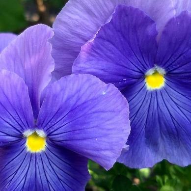 Pansies, Purple 3c