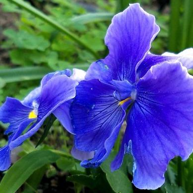 Pansies, Purple 4