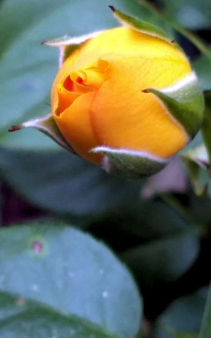 Rosy Arrival, Yellow 2