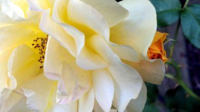 Rose, Yellow 1b