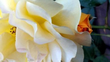 Rose, Yellow 1c