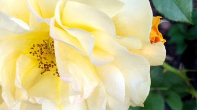 Rose, Yellow 1a