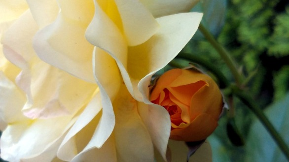 Rose, Yellow 2a