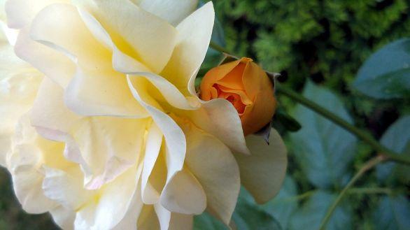 Rose, Yellow 2b