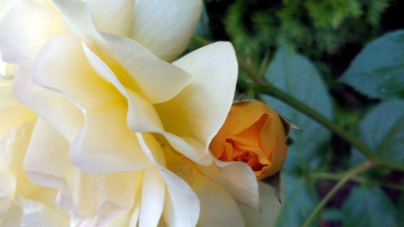 Rose, Yellow 2c
