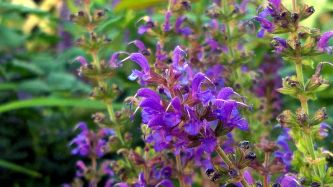 Salvia in the Garden 2 (alt)