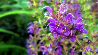 Salvia in the Garden 1 (alt)