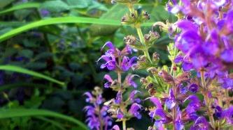 Salvia in the Garden 3 (alt)