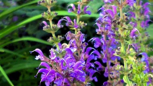 Salvia in the Garden 4 (alt)