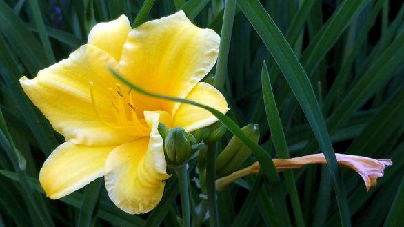 Daylilies, Yellow 3a