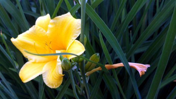 Daylilies, Yellow 3b