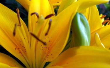 Abstract Lilies 1b