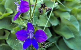 Summer Purple 3a