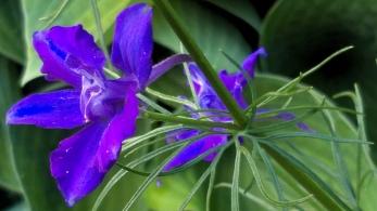 Summer Purple 1c