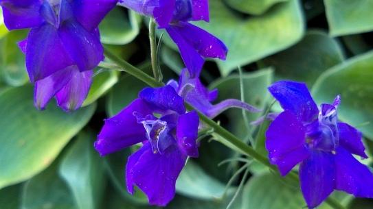 Summer Purple 2c