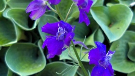 Summer Purple 2a